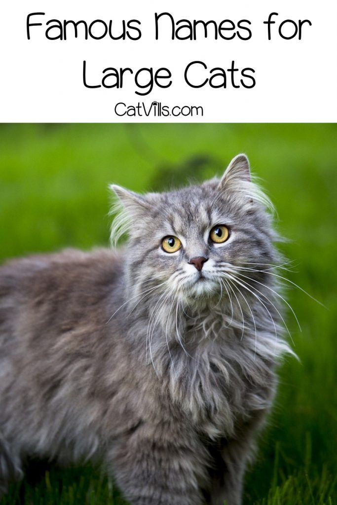 51 Best Names For Large Cats Cats Cat Names Large Cat Breeds