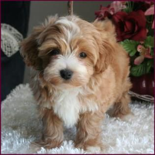 17 best ideas about Maltipoo Full Grown on Pinterest ...