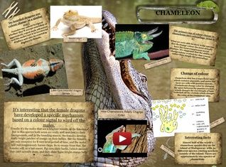 Chameleons or chamaeleons are a distinctive and highly specialized clade of old world lizards with 202 species described as of June 2015.  #glogster #glogpedia #chameleon