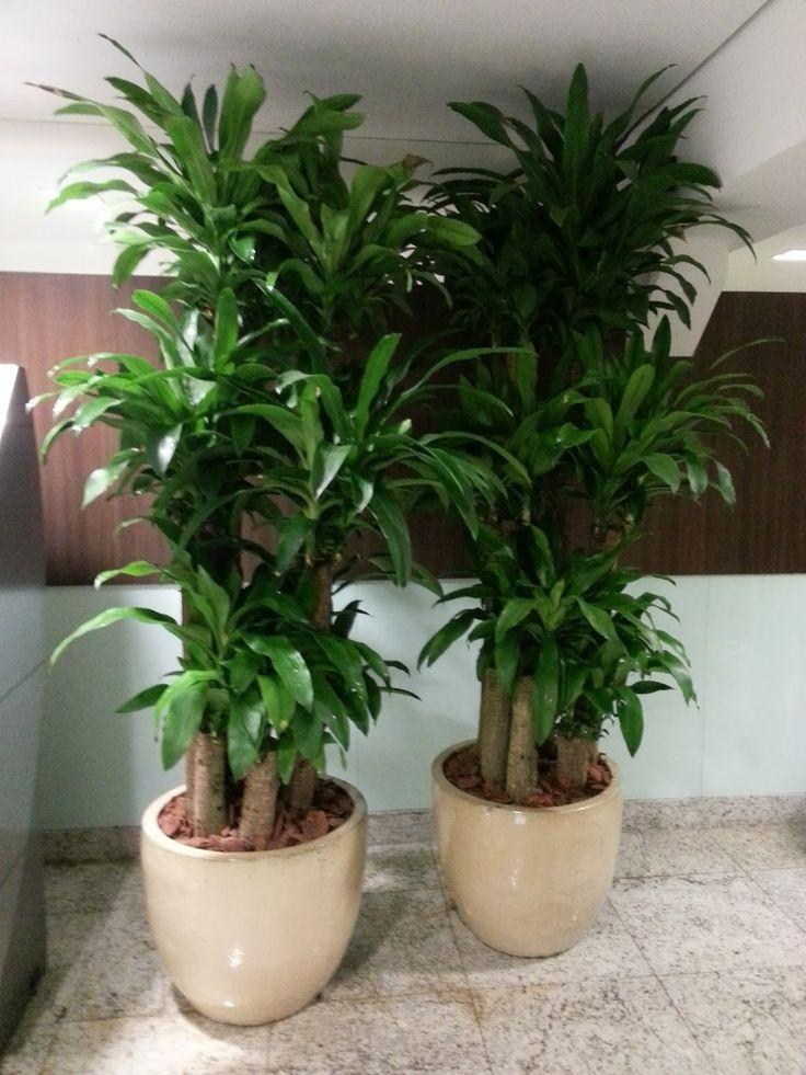 Mercado procura melhor padrão de plantas para interior Na imagem Dracaena Massangeana