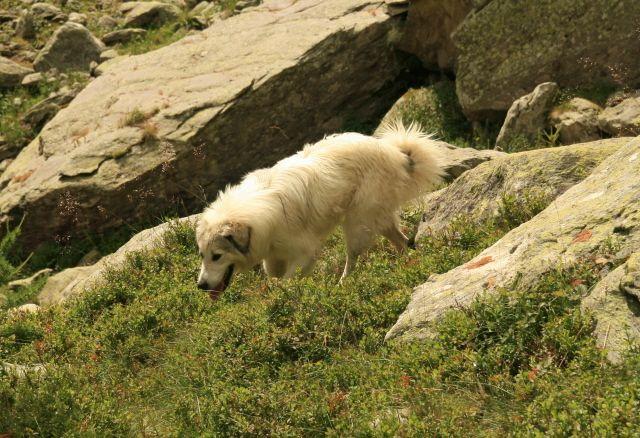 I cani da guardiania (Foto di L.Zamprogno) costituiscono un ottimo strumento per contenere i casi di predazione di bestiame domestico da parte dei grandi carnivori .. approfondisci sul nostro sito web...