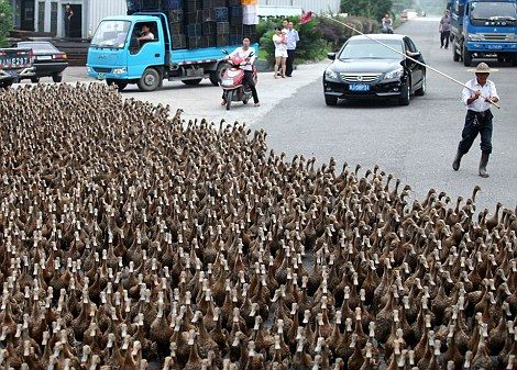 china - annual duck migration