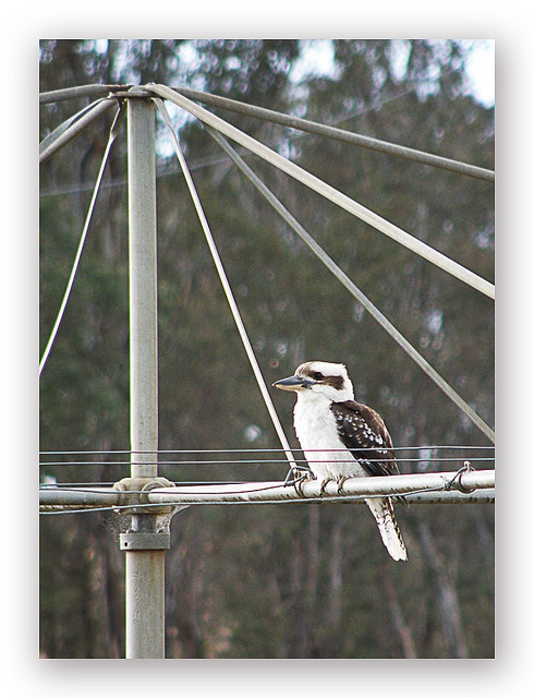 'Which of these is more the icon? Kookaburra or Hills Hoist clothesline' said previous pinner • hills rotary clothes hoist • an essential piece of Australian backyard material culture in an Australian back yard life! • under threat from the use of electric dryers and shrinking back yard size • Adelaide invention • Adelaide's icons • why we love Adelaide
