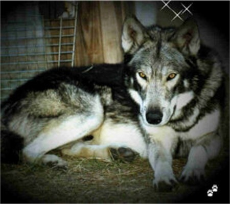 ... have, though mine is not as stunning. Timber wolf, malamute mix