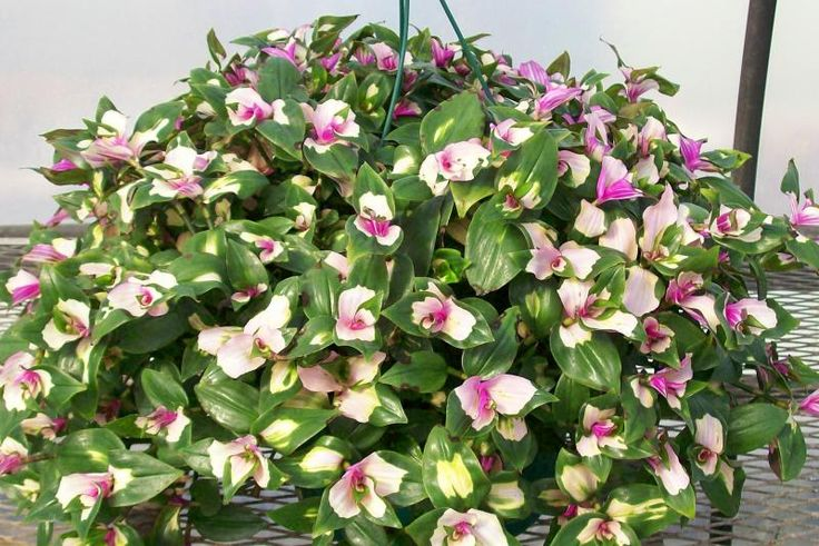 bridal veil plant   This is a succulent plant that is related to the Wandering Jew plant.