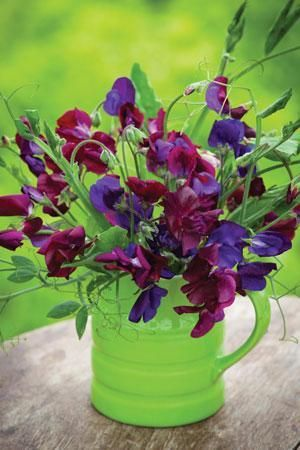 bi colour sweet pea for growing over the arch, cutting and giving to friends