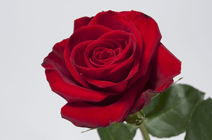 It's every Disney antagonist's driving force: To be Forever Young. This lovely rose's bloom is beautiful and lush. Its vibrant red hue is as red as Snow White's crimson lips and its long lasting vase life is fit for any princess love story. #Royal #Roses