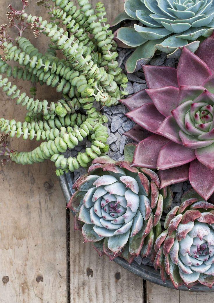 Crassula rupestris subsp. marnieriana, Echeveria 'Imbricata', Echeveria agavoides 'Taurus' & Echeveria colorata; Gardens Illustrated, Special Issue 2016