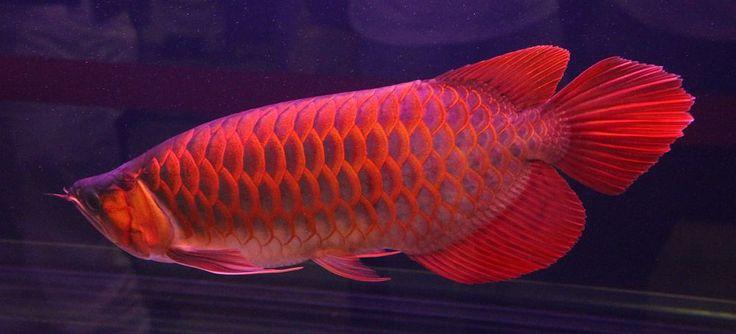 57 best images about arowana fish on pinterest blue gold for Arowana fish tank decoration