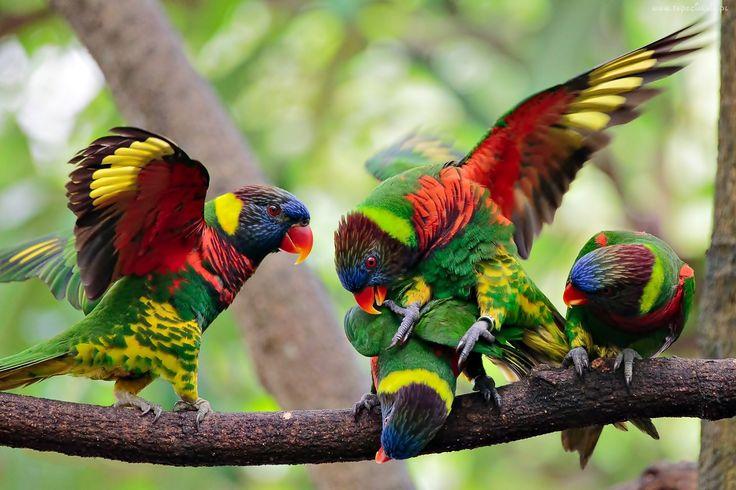 Lorysy Górskie, Kolorowe, Ptaki, Gałąź