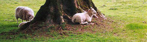 https://flic.kr/p/7yCMcW | Wicklow sheep1 | near Glendalough