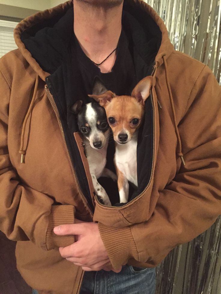 Adorable Toy chihuahua pups jacket chillin'...they look a little like my Riley and Jacob
