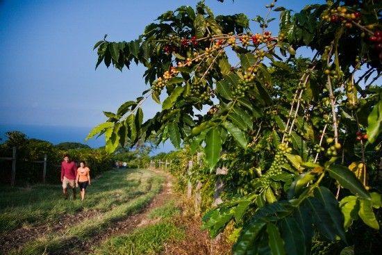 Kona Coffee Farm stroll on Hawaii Island (Hawaii Tourism Authority/Tor Johnson)