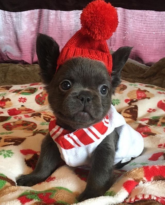 Already For Liverpool S Champions League Final French Bulldog