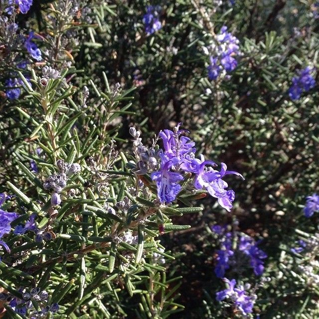 Lavender bush beginning to flower. #herb #flowers #garden #mindfulafternoon