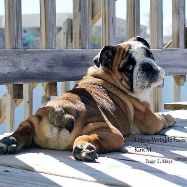 Bulldog ingles                                                                                                                                                                                 Más