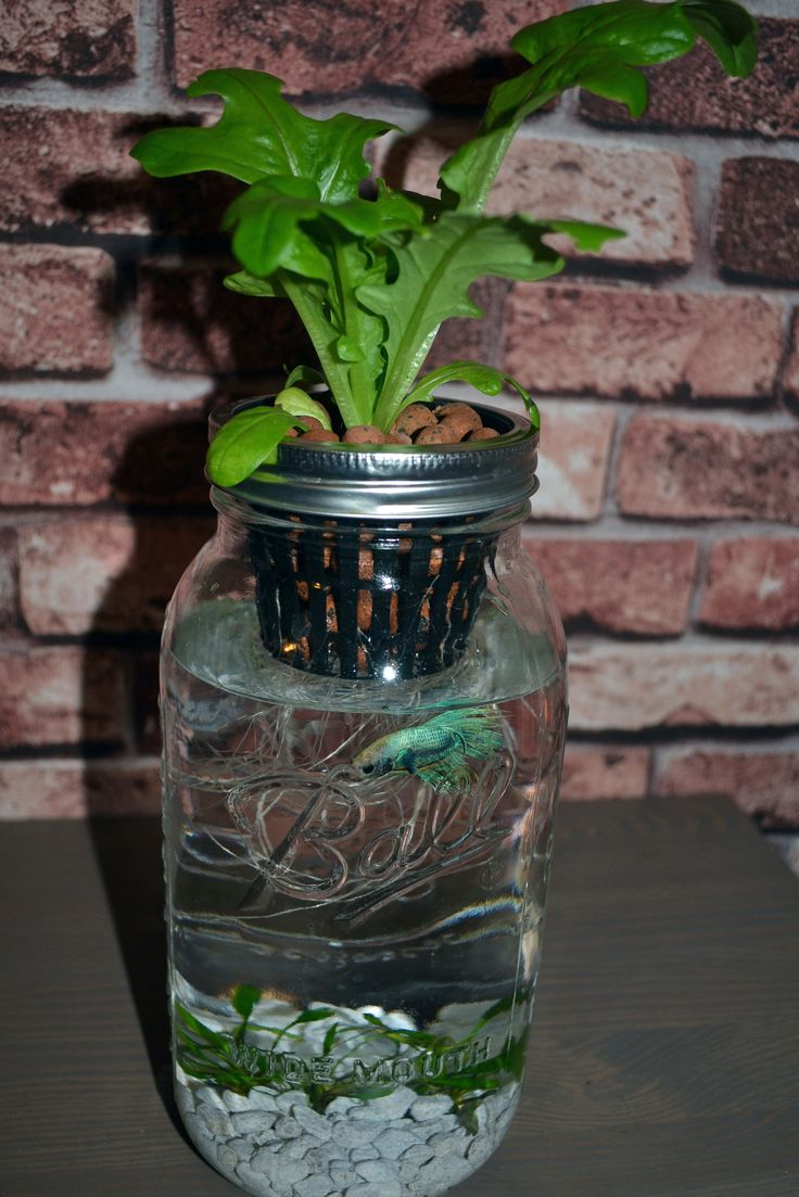 55 best indoor aquaponics images on pinterest aquaponics for How to grow hydro in a fish tank