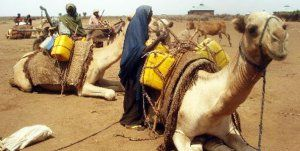Overworked Camels Of Africa.