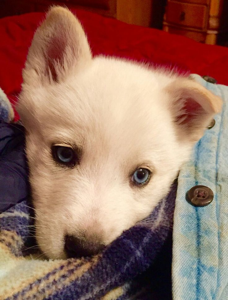 The world's cutest seven week old white Siberian Husky with blue eyes