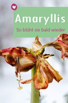Amaryllis verblüht? Das sollten Sie tun