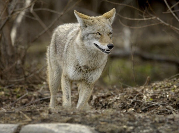 Coyote confronts man doing yoga in Toronto's Riverdale Park