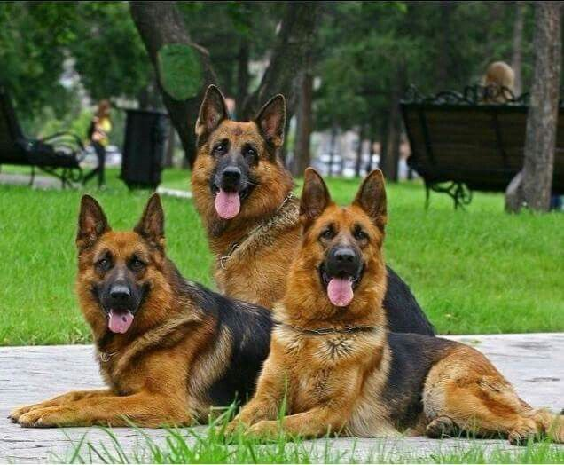 Beautiful group of GSDs