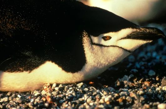 The chinstrap penguin (Pygoscelis antarctica) is a species of penguin which inhabits a variety of islands and shores in the Southern Pacific and the Antarctic Ocean. Its name derives from the narrow black band under its head which makes it appear as if it were wearing a black helmet, making it one of the most easily identified types of penguin.