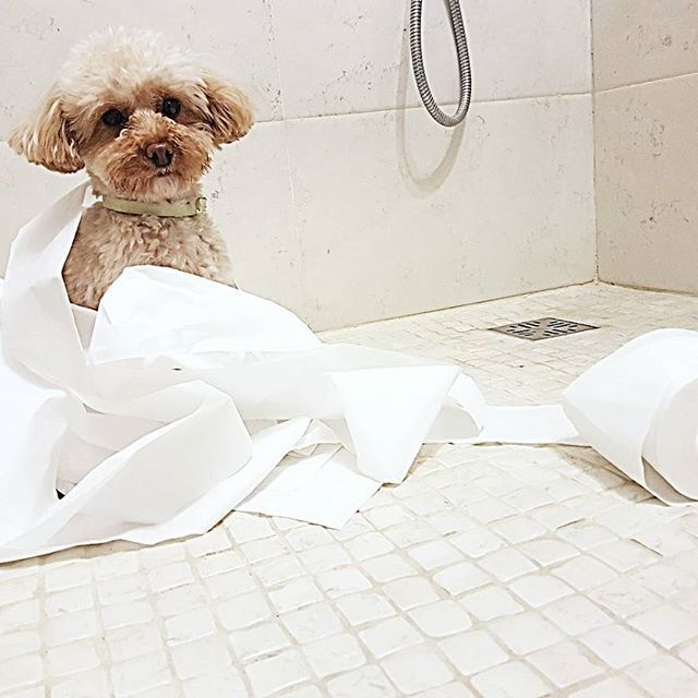 My little poodle.  I swear. I didn't do it 😂😂😂😂 #dog #犬 #トイプードル #cute #doglovers #モコ #愛犬 #moco #アプリコット #ミックス犬 #poodle #toypoodle #ミニチュアダックス #poedel #instapoodle #toypoodlepuppy #instadog #toypoodledog #barboncinotoy #poodledog #furball #モコモコ #ペット #トイプード #instalike #dogstargram #dogfinstagram #toypoodles #puppytoypoodle #puppypoodle