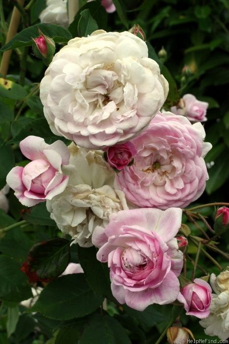 Rosa 'Spectabilis ' (Italy, before 1836)