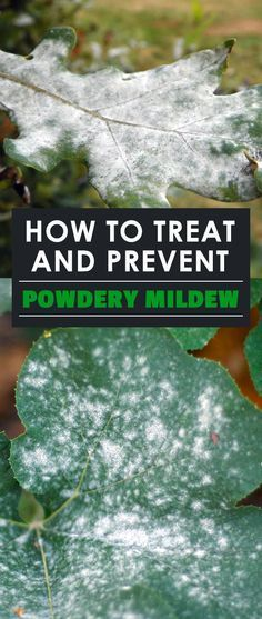 Learn how to prevent and treat powdery mildew with either home or professional remedies. Cure your garden of this annoying disease!