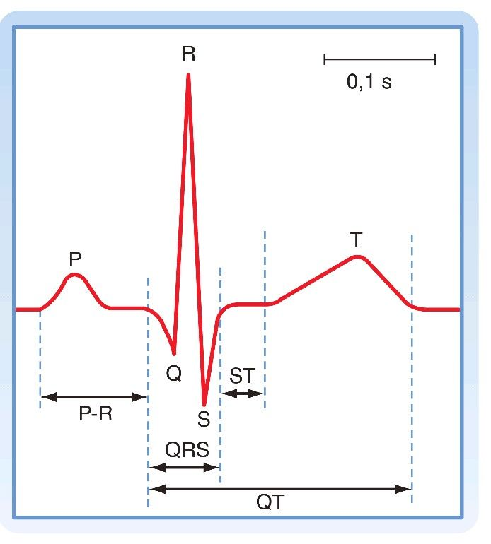 La onda P refleja la despolarización de las aurículas.  El complejo QRS corresponde a la despolarización de los ventrículos.  La onda T representa la repolarización de los ventrículos.  El intervalo P-R es una medida de tiempo que transcurre desde el comienzo de la activación aurícular hasta la activación ventricular.  En el intervalo S-T todo el miocardio ventrícular se despolariza.