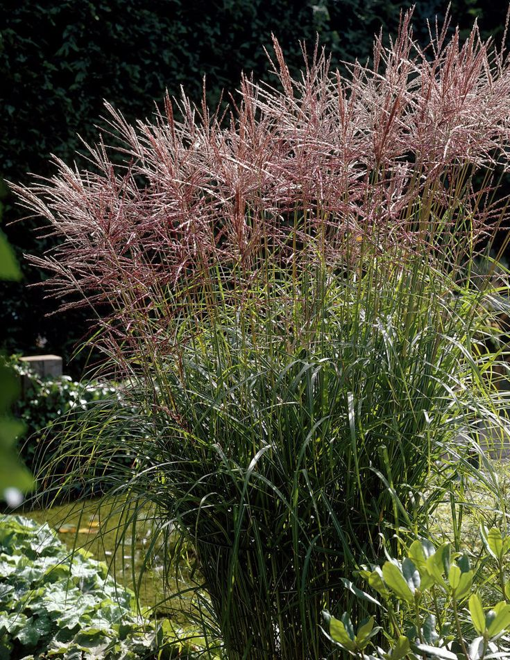 127 best images about grasses on pinterest perennial for Ornamental grass garden