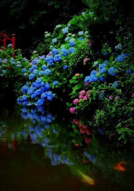 花見山の紫陽花 Hydrangea, Fukushima, Japan #Hydrangea #紫陽花