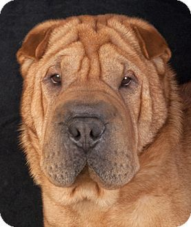 Chicago, IL - Shar Pei. Meet Sarge, a dog for adoption. http://www.adoptapet.com/pet/12632989-chicago-illinois-shar-pei