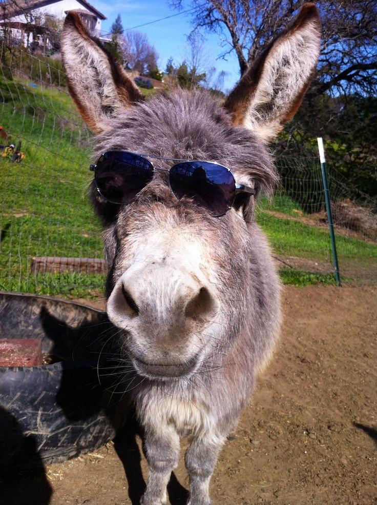 9ad110e20c Donkey with sunglasses related keywords suggestions donkey with jpg 736x985  Donkey with sunglasses