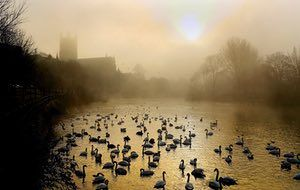Swans on the River Severn by Worcester Cathedral the morning after a night of freezing fog