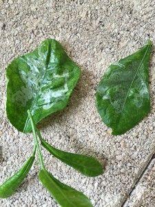 La mineuse des agrumes sur le citronnier: comment agir ? http://www.jardipartage.fr/maladie-citronnier-feuilles-recroquevillees/
