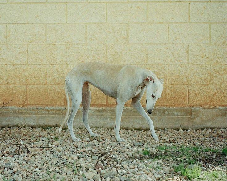 Un fotógrafo británico convierte en arte a los perros de caza abandonados en España