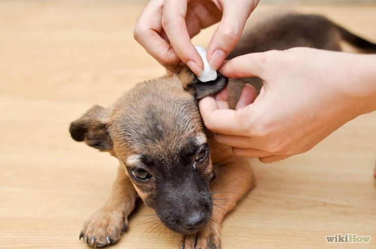 Here's a quick guide to cleaning your dog's ears! We love cleaning our dog's ears with hydrogen peroxide! We'd love to hear what you use at home!  #puppies #dog #tips #training