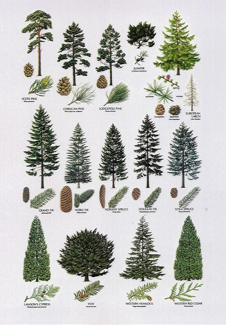Small Cedar Tree Varieties ~ Best tree identification ideas only on pinterest