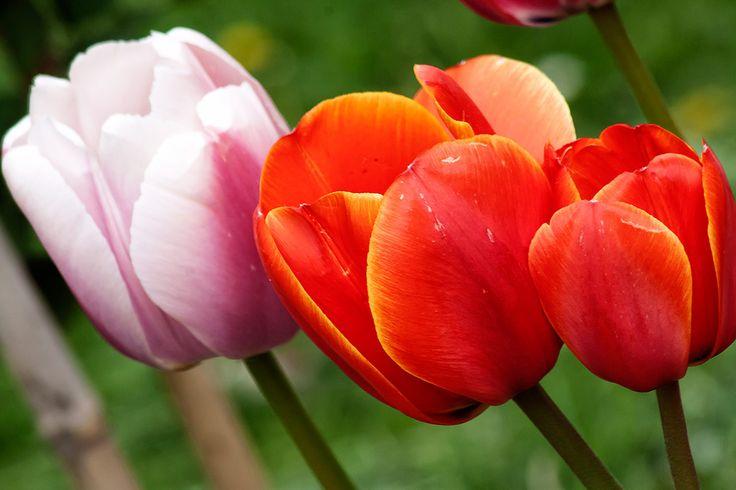 Moje úplně první tulipány