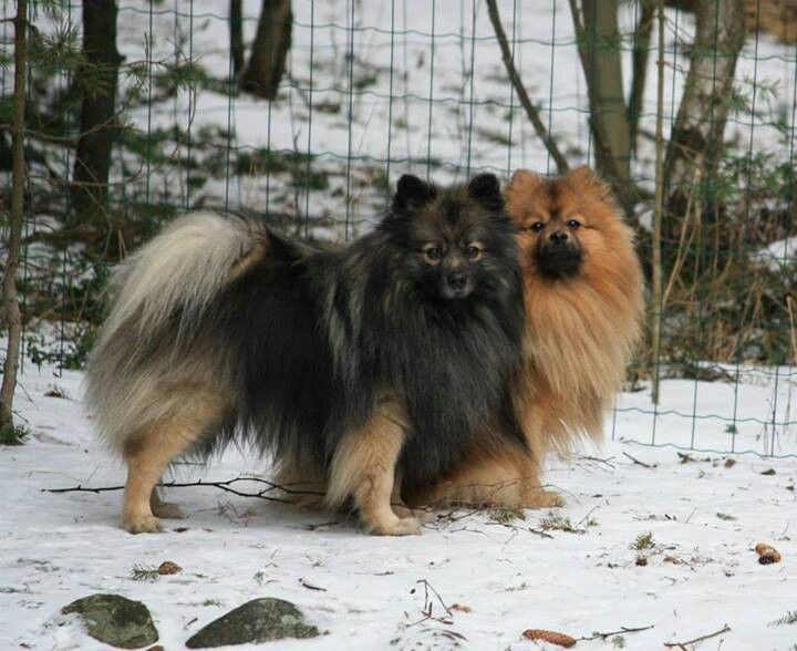 German Spitz / Mittelspitz #dog #mine #love