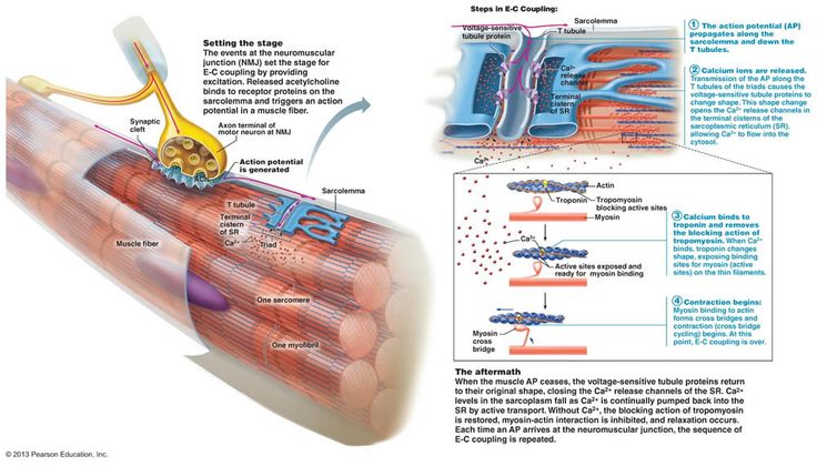 Neuromuscular junction – site of interaction between neuron and muscle fiber.