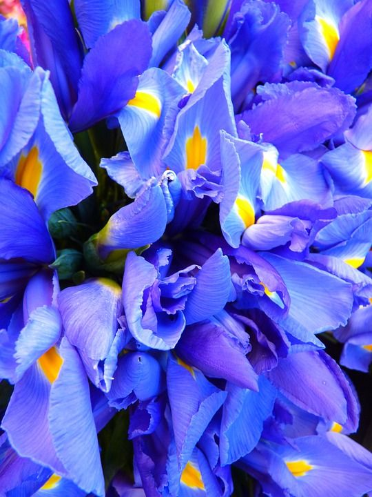 Iris, Blue, Flowers