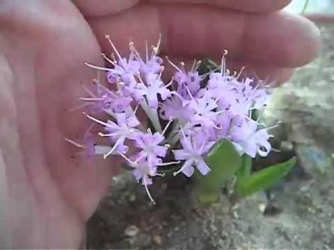 Polyxena corymbosa -- Lachenalia corymbosa - YouTube