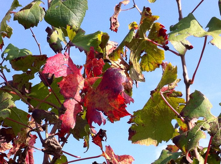 This is Fall in the vineyard www.lacappuccina.it