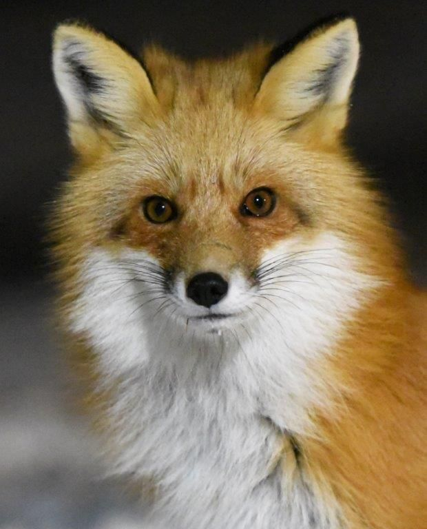 Night Pics, Foxes, Deer - UPDATE February 12, 2018 - The Wildlife Research Institute