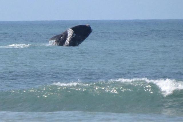 RS terá rota turística para observação de baleias a partir do próximo semestre Renata Orlandini/OceanoVivo http://charqueadashistoria.blogspot.com.br/