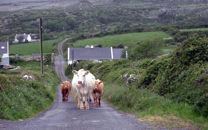 So kann die Rush Hour in Irland durchaus mal ausschauen.