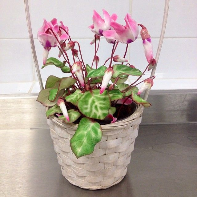 Cyclamen Plant made from sugar
